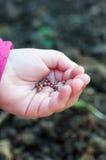 Sementes da sementeira da criança do rabanete Imagens de Stock Royalty Free