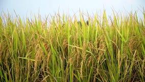 Sementes de arroz já maduras no campo filme