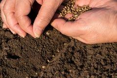 Sementes de cânhamo da sementeira imagens de stock