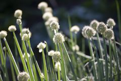 Sementes de cebolas verdes fotos de stock
