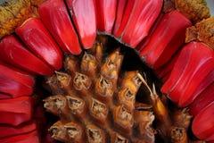 Sementes de Cicad Fotografia de Stock