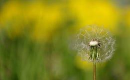 Sementes de Dandelion imagens de stock