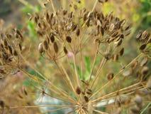 Sementes de erva-doce Foto de Stock