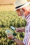 Sementes de exame superiores do trigo do agrônomo ou do fazendeiro sob a lupa no campo, procurando o afídio ou os outros parasita foto de stock