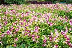 Sementes de flor coloridas de Fournieri do flowerTorenia do ossinho da sorte beaut imagens de stock