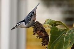 Sementes de girassol da colheita do pica-pau-cinzento Fotos de Stock Royalty Free