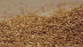 Sementes de giro do quinoa video estoque