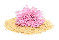 Sementes de sésamo e dália cor-de-rosa Fotos de Stock Royalty Free