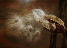 Sementes de seda do Milkweed contra o fundo marrom fotos de stock royalty free