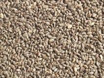 Sementes de Tukmaria (sementes da manjericão) Fotografia de Stock