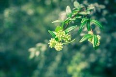 Sementes de um fruto pronto para florescer Kebun recolhido foto Raya Bogor Indonesia fotos de stock royalty free