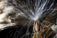 Sementes dentro das ervas do Milkweed Fotografia de Stock Royalty Free