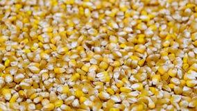 Sementes dispersadas do milho Foto de Stock