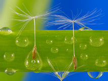 Sementes do dente-de-leão em gotas da água Fotos de Stock