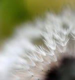 Sementes do dente-de-leão. marco foto de stock royalty free