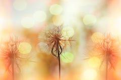 Sementes do dente-de-leão no prado iluminado pela luz solar Foto de Stock Royalty Free