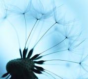 Sementes do dente-de-leão Imagem de Stock