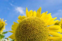 Sementes do girassol amarelo imagens de stock royalty free