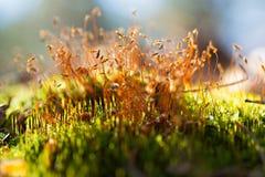 Sementes do musgo na grama do grwwn do thw Imagem de Stock
