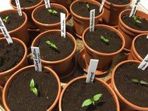 Sementes do pimentão Foto de Stock Royalty Free