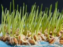 Sementes do trigo da germinação Fotografia de Stock