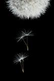 Sementes do vôo do dente-de-leão de florescência Imagens de Stock Royalty Free