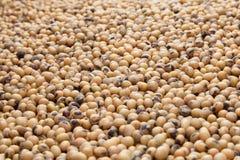 Sementes dos feijões de soja Foto de Stock
