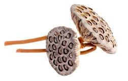 Sementes dos lótus na flor dos lótus Imagem de Stock