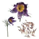 Sementes e flores do pasqueflower ou dos patens orientais do Pulsatilla isolado no fundo branco Foto de Stock Royalty Free