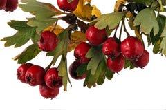 Sementes e folhas do espinho Imagens de Stock Royalty Free