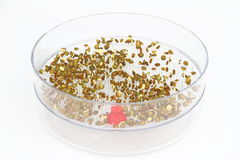 Sementes emergentes da lentilha Fotografia de Stock Royalty Free