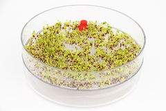 Sementes emergentes dos brócolis Fotos de Stock