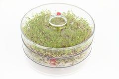 Sementes emergentes dos brócolis e da lentilha Fotografia de Stock
