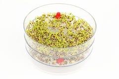Sementes emergentes dos brócolos e da lentilha Imagem de Stock Royalty Free