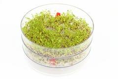 Sementes emergentes dos brócolos e da lentilha Fotografia de Stock Royalty Free