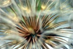 Sementes gigantes do dente-de-leão Foto de Stock
