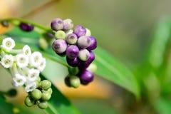 Sementes na árvore Fotos de Stock