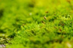 Sementes pequenas do musgo Imagens de Stock Royalty Free