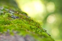 Sementes pequenas do musgo Imagem de Stock Royalty Free