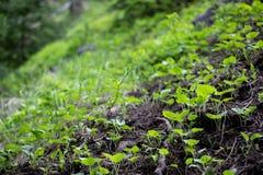 Sementes que crescem em plantas verdes em Rocky Mountain National Park imagem de stock royalty free