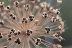 Sementes secas do Allium Imagens de Stock