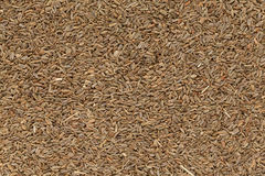 Sementes secas orgânicas do aipo ou do Ajmod (graveolens do Apium) Fotografia de Stock Royalty Free