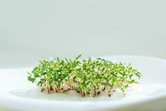 Sementes Sprouted alface do agrião da semente dos brotos verdes fotografia de stock royalty free