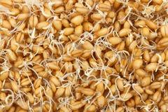 Sementes Sprouted do trigo Fotografia de Stock