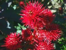 Sementes vermelhas bonitas das castanhas foto de stock royalty free