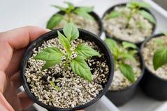 Semenzale crescente delle piante Fotografia Stock