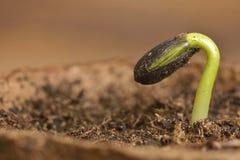 Semenzale del girasole che scoppia dalla sua intelaiatura del seme Immagini Stock