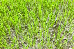 Semenzale del riso Fotografie Stock Libere da Diritti