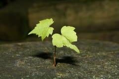 Semenzale dell'albero Immagini Stock