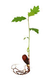 Semenzale dell'albero di quercia con le radici Fotografia Stock